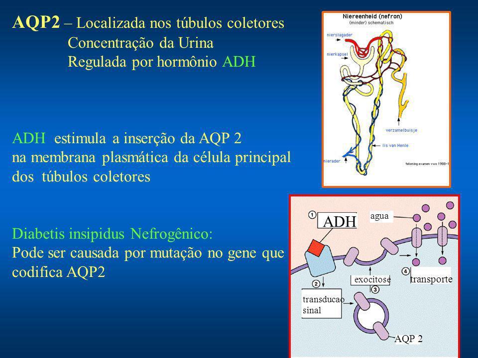 AQP2 – Localizada nos túbulos coletores