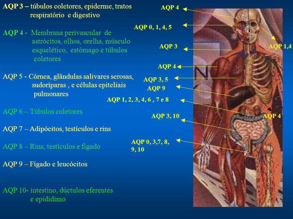 AQP 3 – túbulos coletores, epiderme, tratos respiratório e digestivo