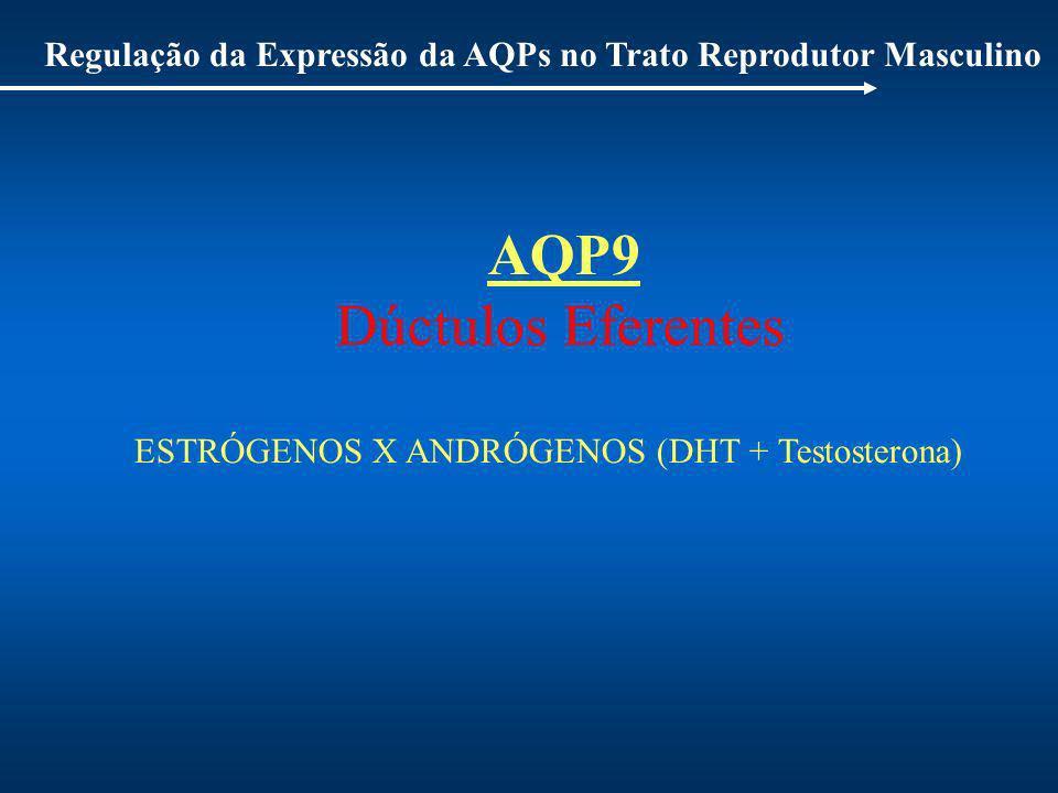 Regulação da Expressão da AQPs no Trato Reprodutor Masculino