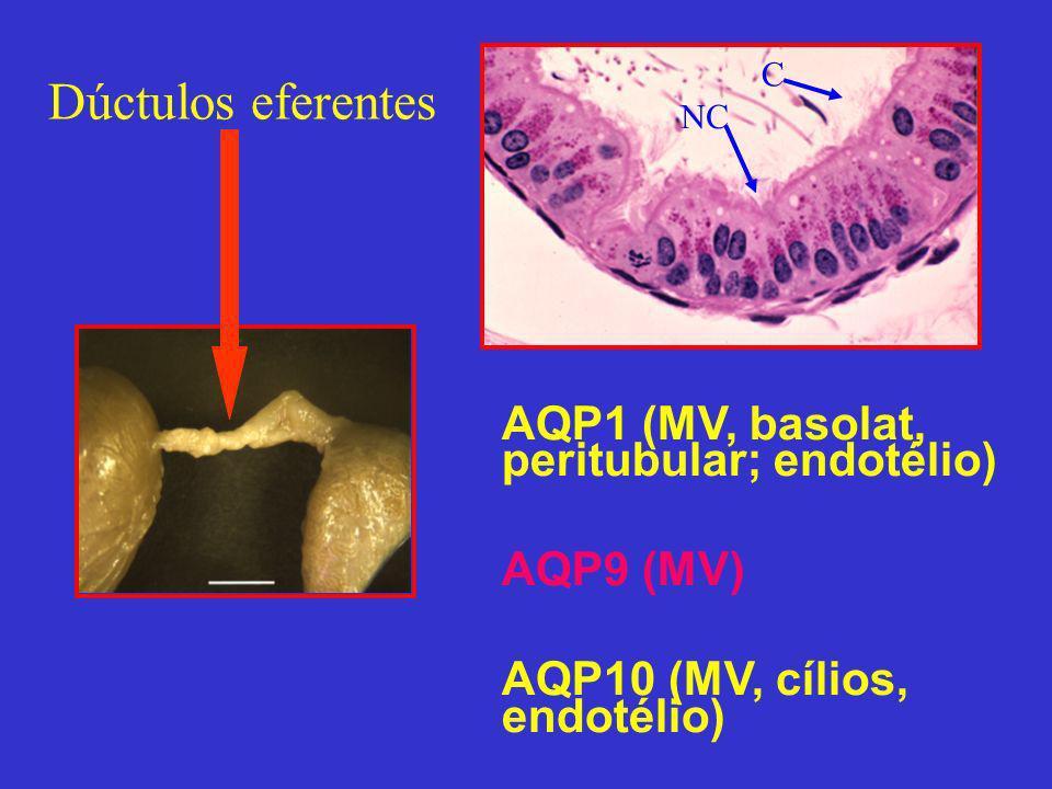 Dúctulos eferentes AQP1 (MV, basolat, peritubular; endotélio)