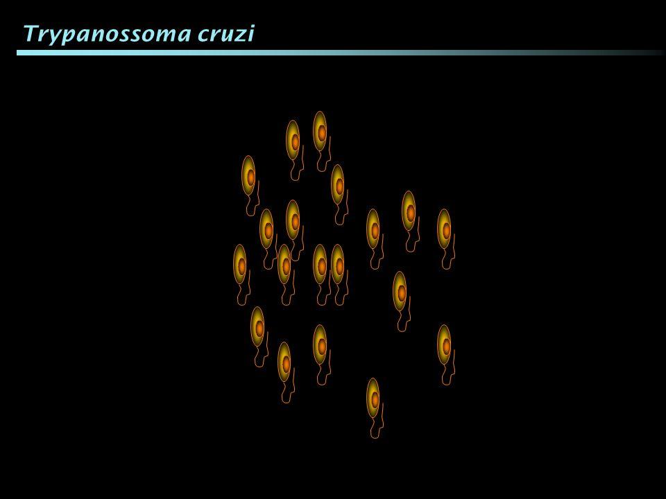 Trypanossoma cruzi Apesar de todos os T. cruzi parecerem iguais...