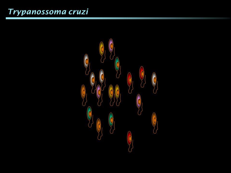 Trypanossoma cruzi Eles possuem algumas diferenças entre si.