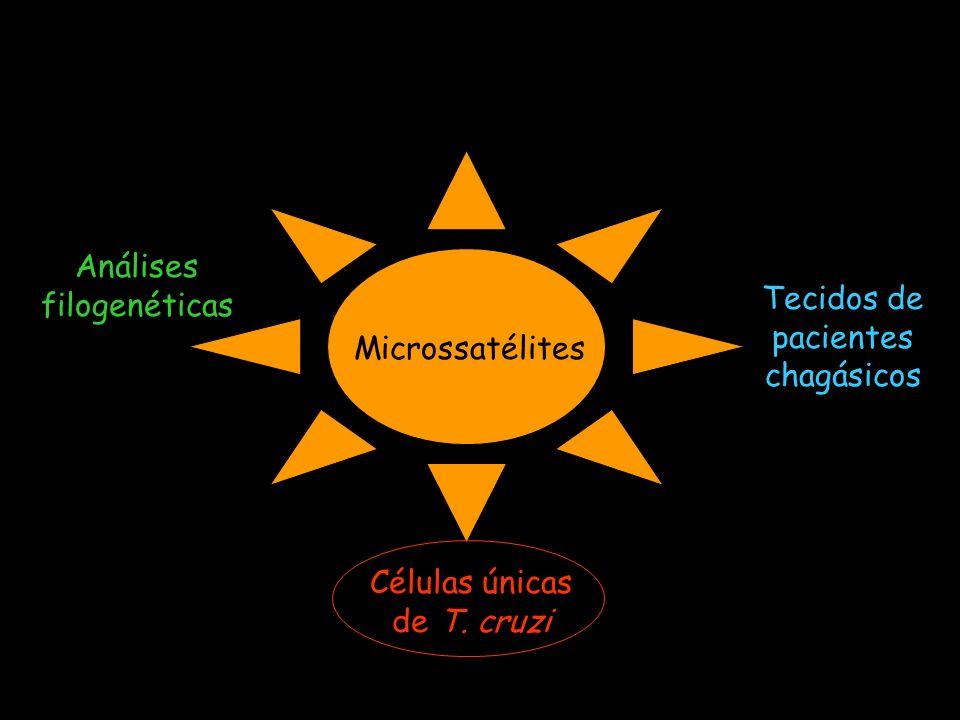 Análises filogenéticas Tecidos de pacientes chagásicos