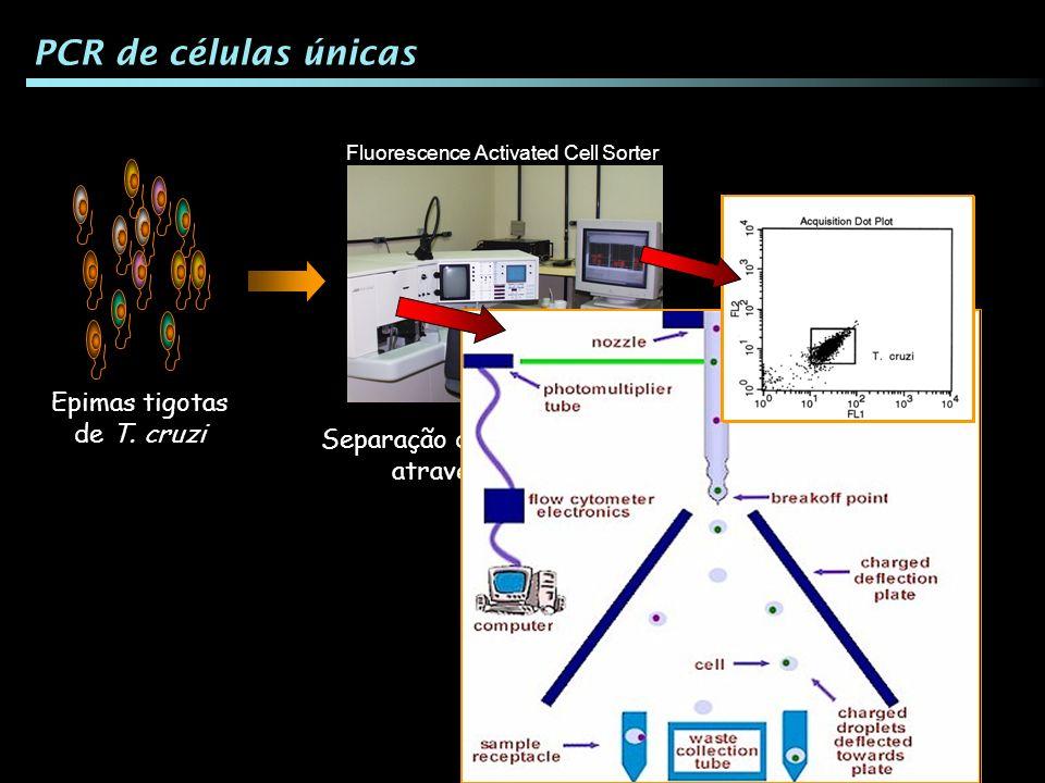 PCR de células únicas Epimas tigotas de T. cruzi