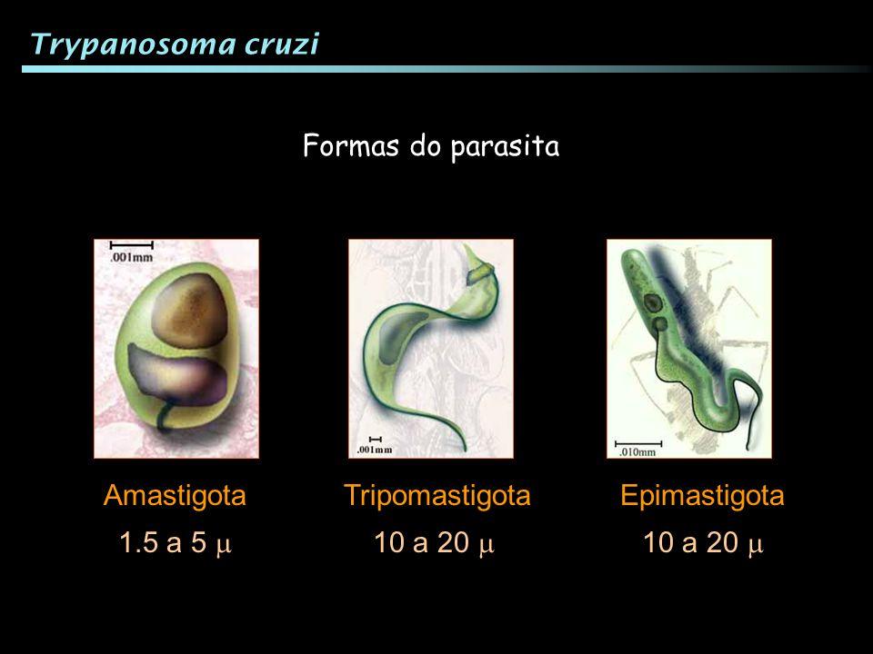 Trypanosoma cruzi Formas do parasita Amastigota Tripomastigota