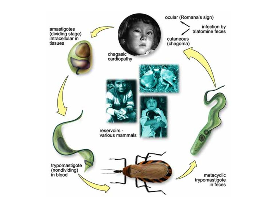 Tem início quando o barbeiro entra em contato com o hospedeiro vertebrado, neste caso o homem. Os tripomastigotas metacíclicos caem na corrente sangüínea e são capazes de infectar virtualmente qualquer tipo de célula nucleada. No interior das células eles se diferenciam em amastigotas que se dividem assexuadamente até romperem a célula. Quando caem na corrente sangüínea, os parasitas se diferenciam para a forma tripomastigota e podem, ou infectar novas células, ou serem sugadas por um outro barbeiro durante o repasto sangüíneo. Dentro do trato digestivo do inseto, eles se diferenciam para a forma epimastigotas que também se replicam assexuadamente e depois em tripomastigotas metacíclicos, que serão depositados nas fezes podendo infectar outro hospedeiro, fechando o ciclo.