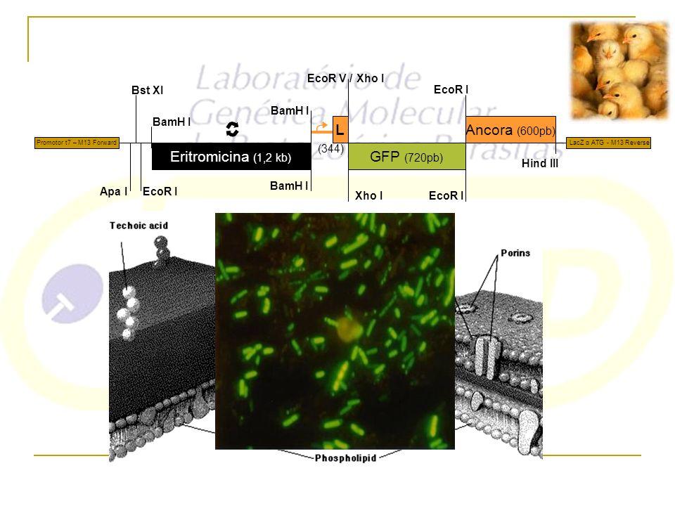Eritromicina (1,2 kb) L GFP (720pb) Ancora (600pb) (344) BamH I Apa I