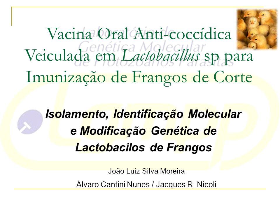 Vacina Oral Anti-coccídica Veiculada em Lactobacillus sp para Imunização de Frangos de Corte
