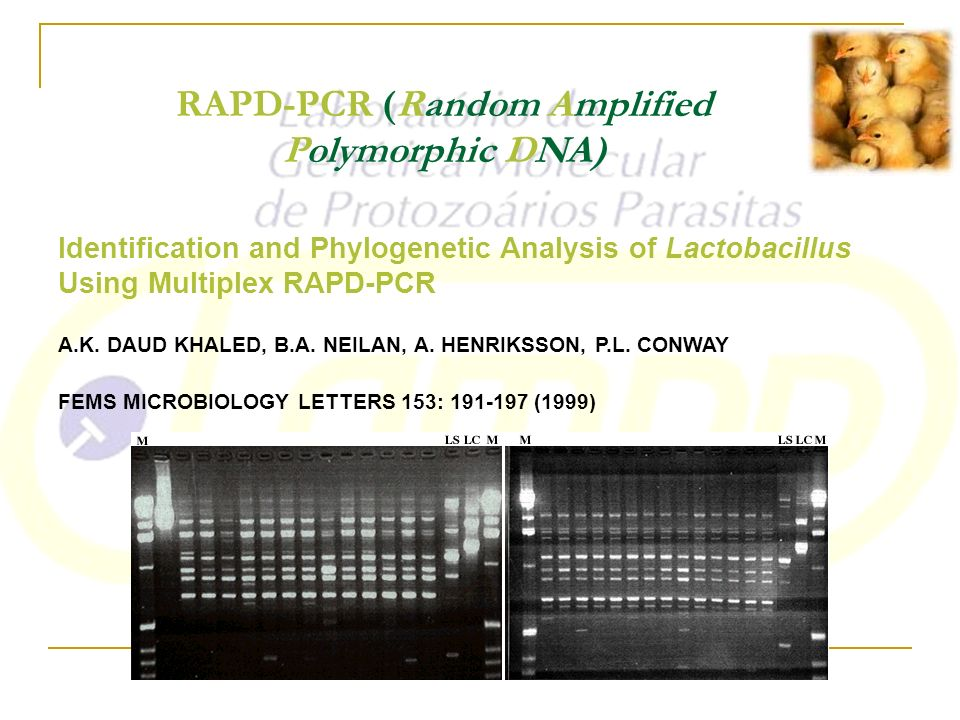 RAPD-PCR (Random Amplified Polymorphic DNA)