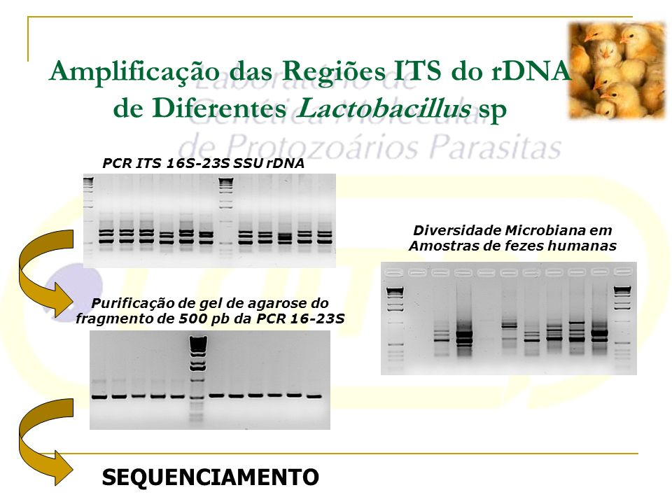 Amplificação das Regiões ITS do rDNA de Diferentes Lactobacillus sp