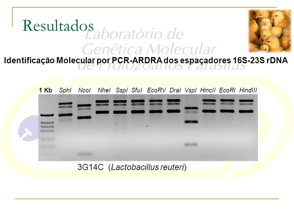 Resultados Identificação Molecular por PCR-ARDRA dos espaçadores 16S-23S rDNA. 3G14C (Lactobacillus reuteri)