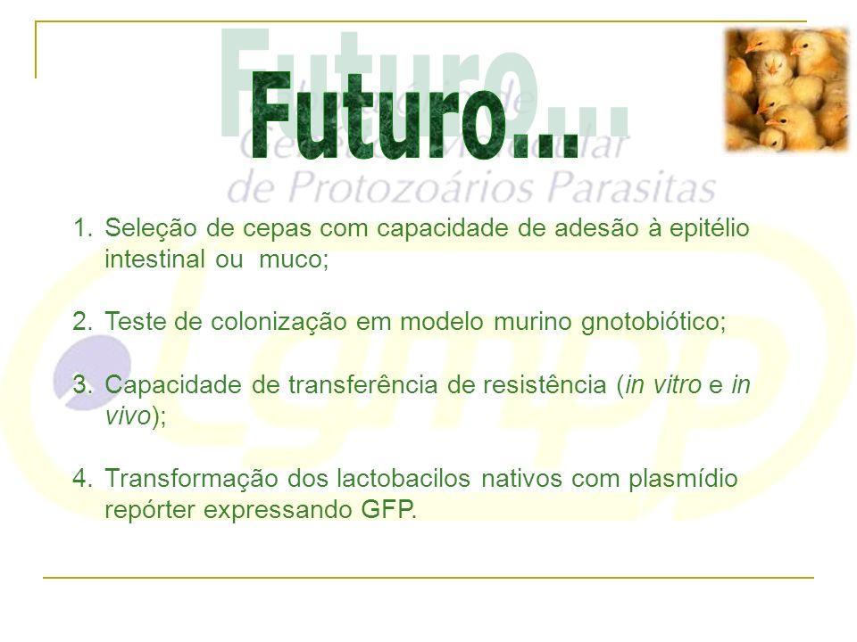 Futuro... Seleção de cepas com capacidade de adesão à epitélio intestinal ou muco; Teste de colonização em modelo murino gnotobiótico;