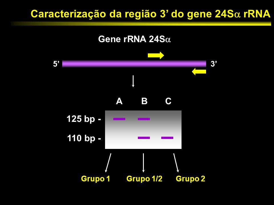Caracterização da região 3' do gene 24S rRNA