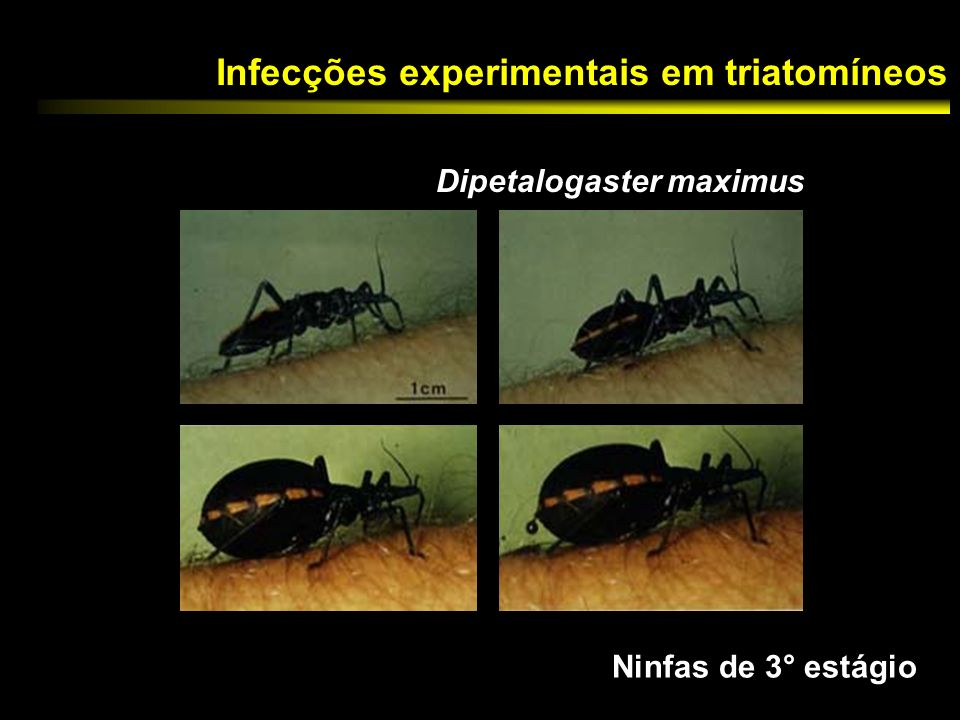 Infecções experimentais em triatomíneos