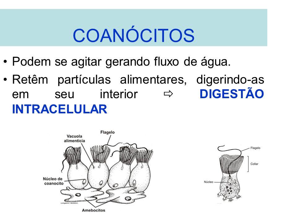 COANÓCITOS Podem se agitar gerando fluxo de água.