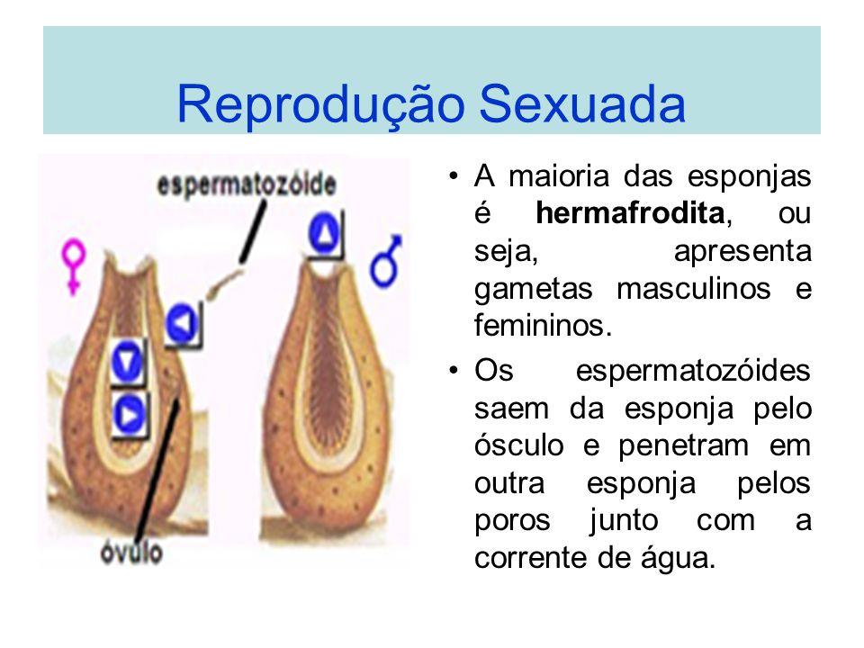 Reprodução Sexuada A maioria das esponjas é hermafrodita, ou seja, apresenta gametas masculinos e femininos.