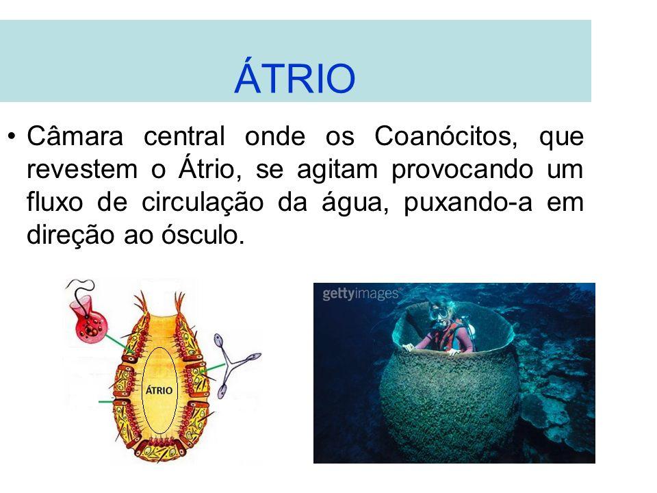 ÁTRIO Câmara central onde os Coanócitos, que revestem o Átrio, se agitam provocando um fluxo de circulação da água, puxando-a em direção ao ósculo.