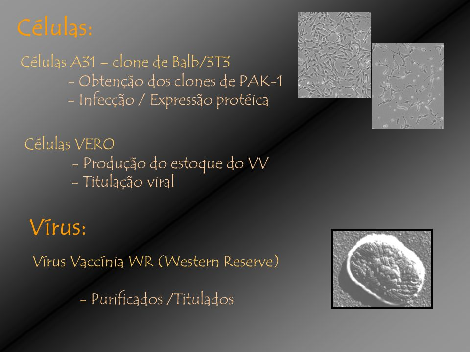 Células: Vírus: Células A31 – clone de Balb/3T3