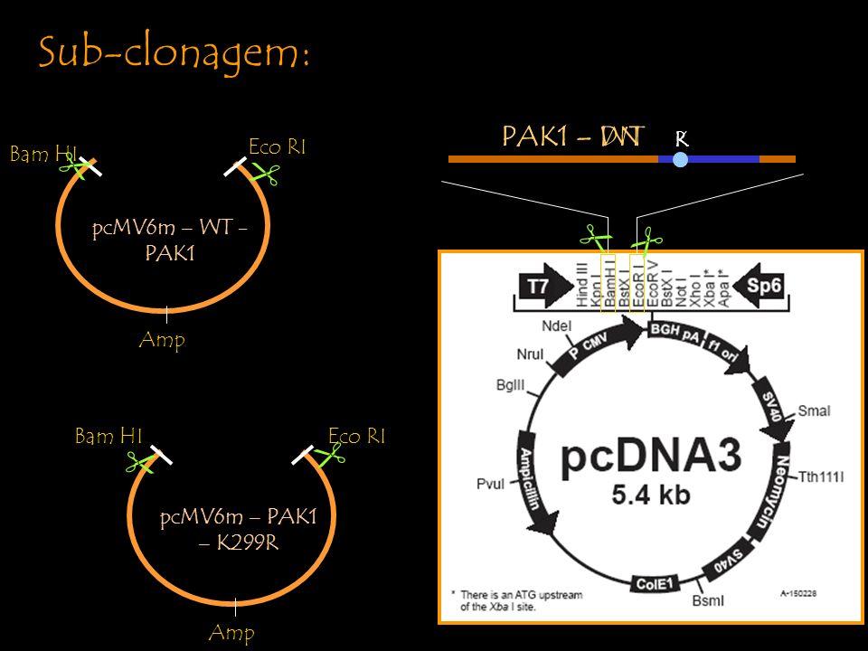 Sub-clonagem: PAK1 – WT PAK1 – DN       pcMV6m – WT -PAK1