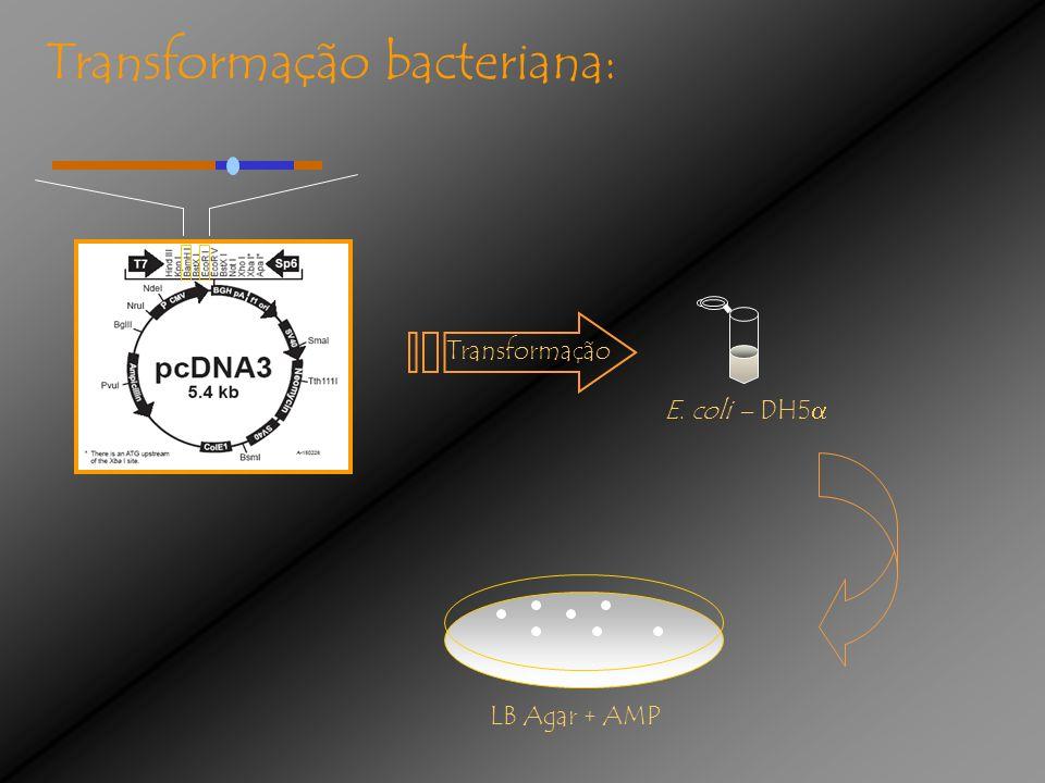 Transformação bacteriana: