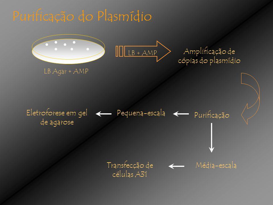 Purificação do Plasmídio