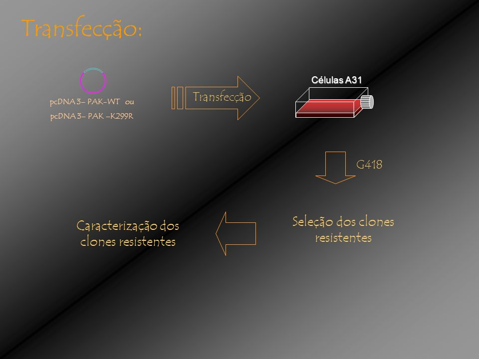 Transfecção: Seleção dos clones resistentes