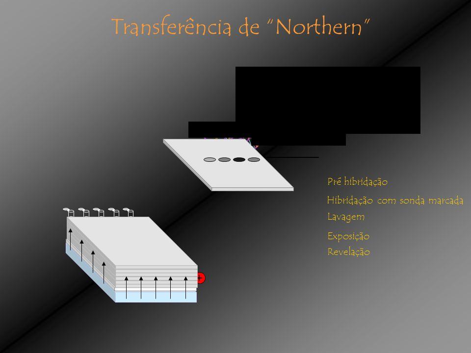 Transferência de Northern