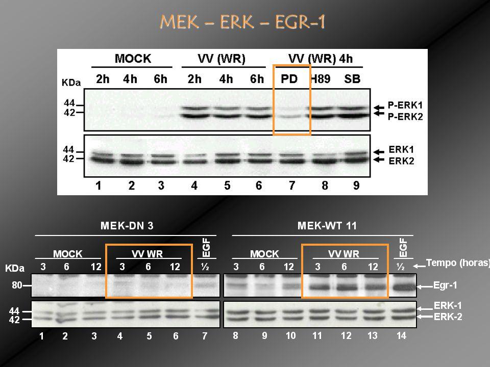 MEK – ERK – EGR-1