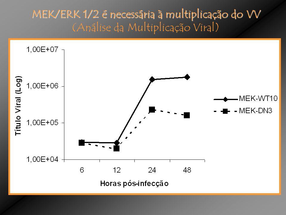 MEK/ERK 1/2 é necessária à multiplicação do VV