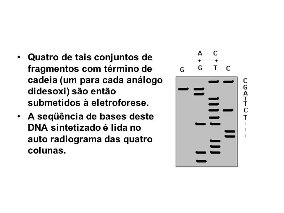 Quatro de tais conjuntos de fragmentos com término de cadeia (um para cada análogo didesoxi) são então submetidos à eletroforese.