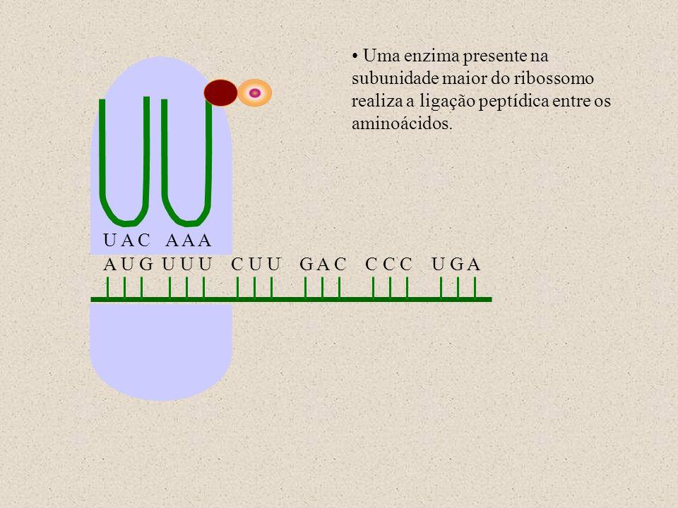 Uma enzima presente na subunidade maior do ribossomo realiza a ligação peptídica entre os aminoácidos.