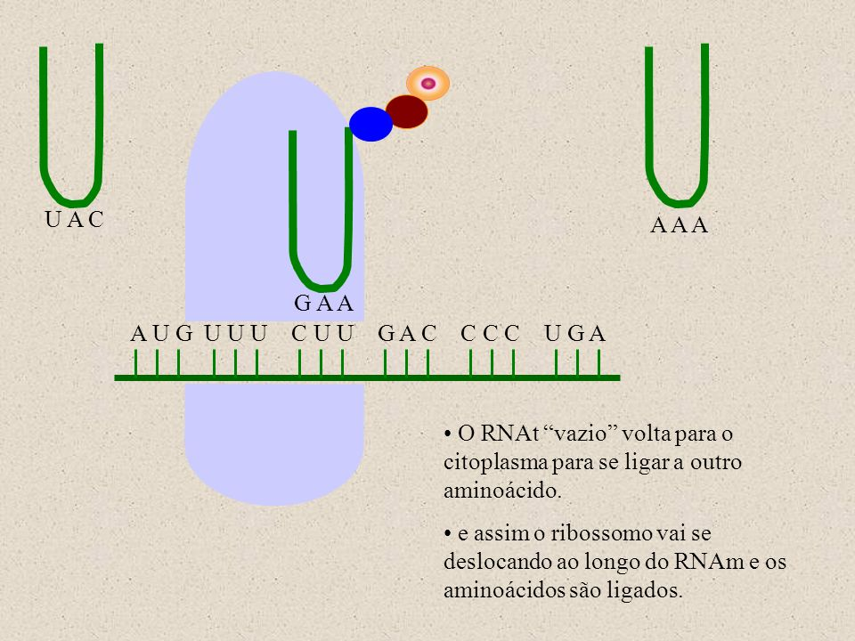 U A C A A A. G A A. A U G U U U C U U G A C C C C U G A. O RNAt vazio volta para o citoplasma para se ligar a outro aminoácido.