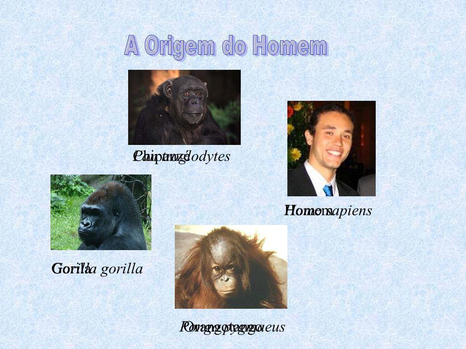 A Origem do Homem Chipanzé Gorila Orangotango Homem Homo sapiens