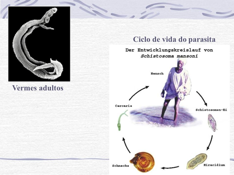 Ciclo de vida do parasita