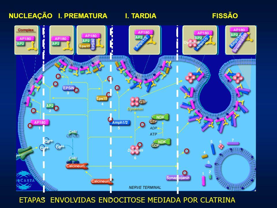 NUCLEAÇÃO I. PREMATURA I. TARDIA FISSÃO ETAPAS ENVOLVIDAS ENDOCITOSE MEDIADA POR CLATRINA