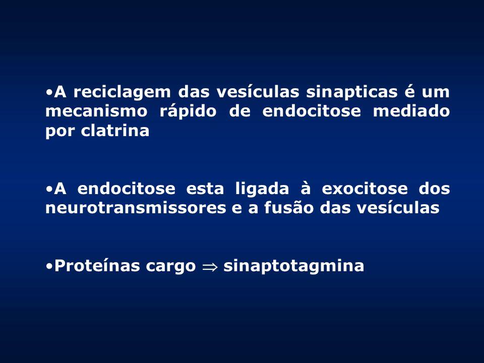 A reciclagem das vesículas sinapticas é um mecanismo rápido de endocitose mediado por clatrina