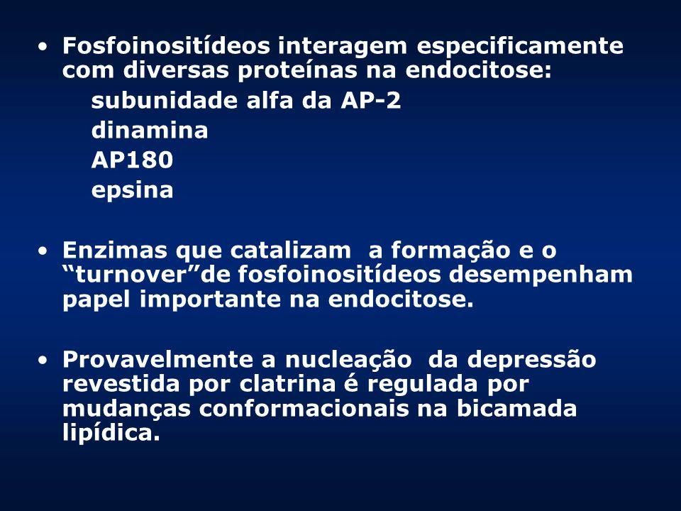Fosfoinositídeos interagem especificamente com diversas proteínas na endocitose: