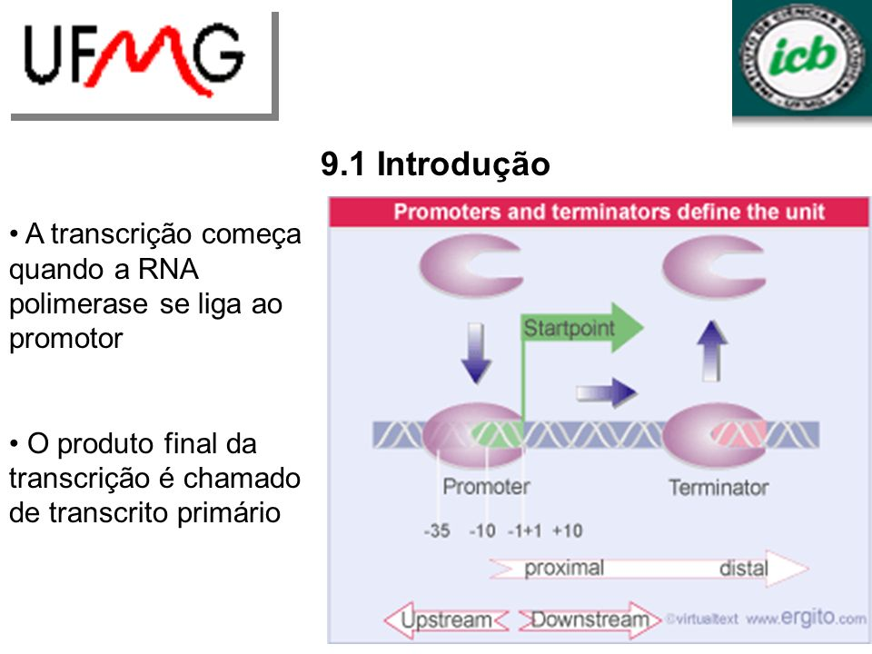 9.1 Introdução A transcrição começa quando a RNA polimerase se liga ao promotor. O produto final da transcrição é chamado de transcrito primário.
