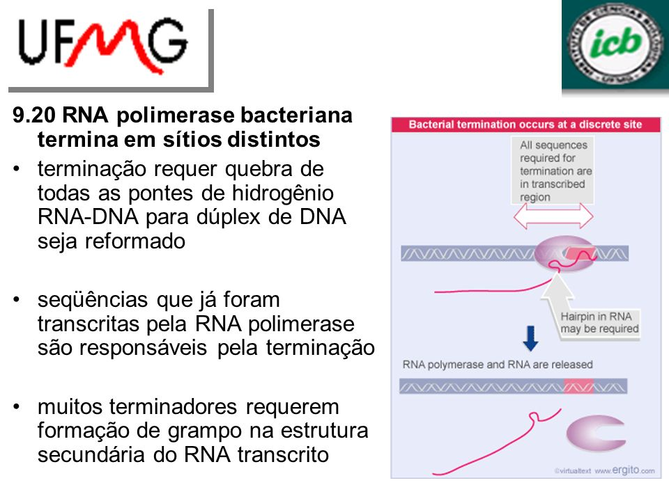 9.20 RNA polimerase bacteriana termina em sítios distintos
