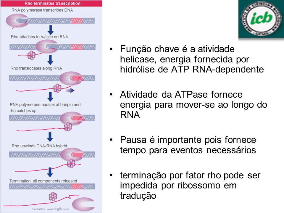 Função chave é a atividade helicase, energia fornecida por hidrólise de ATP RNA-dependente