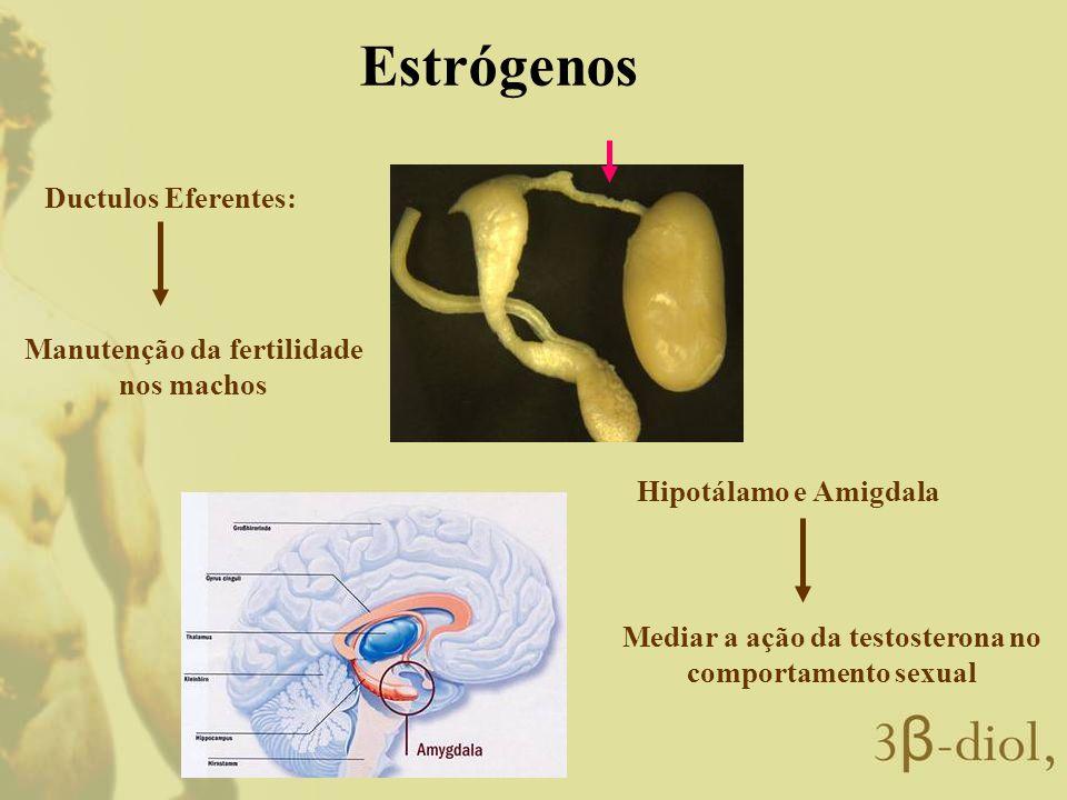 Estrógenos Ductulos Eferentes: Manutenção da fertilidade nos machos