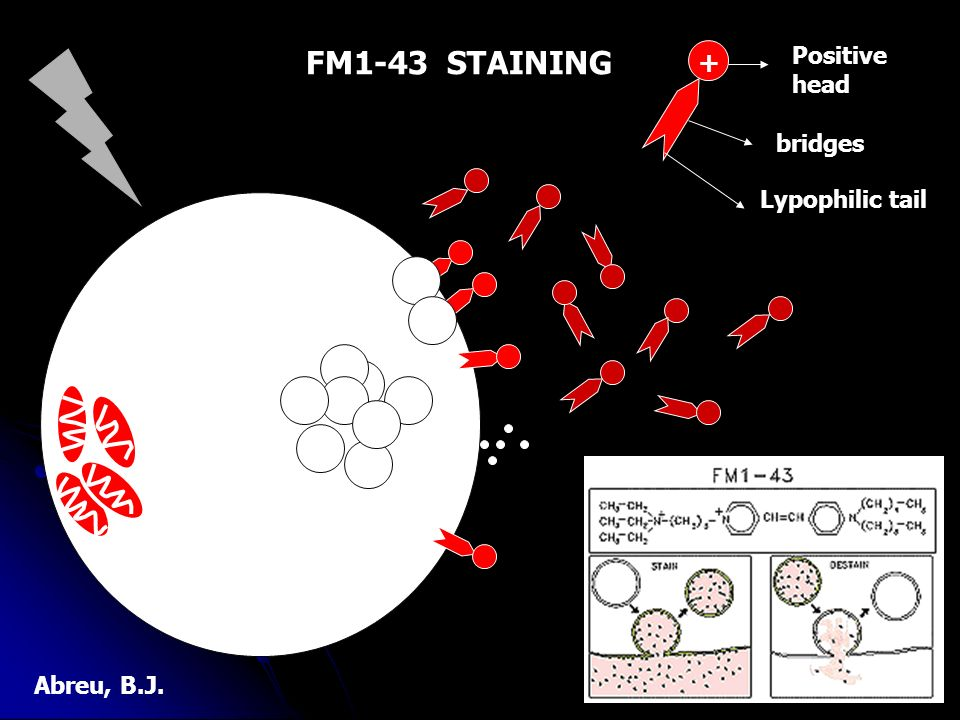 FM1-43 STAINING + Positive head bridges Lypophilic tail Abreu, B.J.