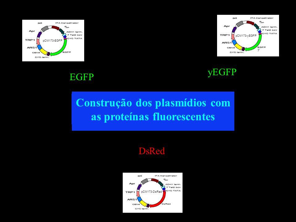 Construção dos plasmídios com as proteínas fluorescentes