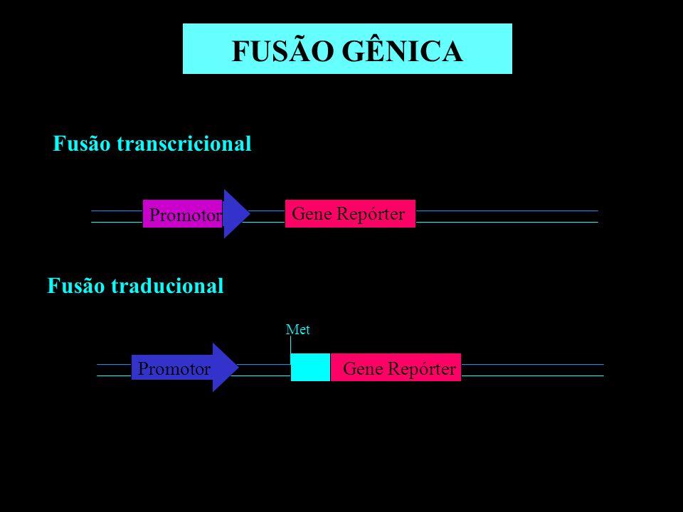 FUSÃO GÊNICA Fusão transcricional Fusão traducional Gene Repórter