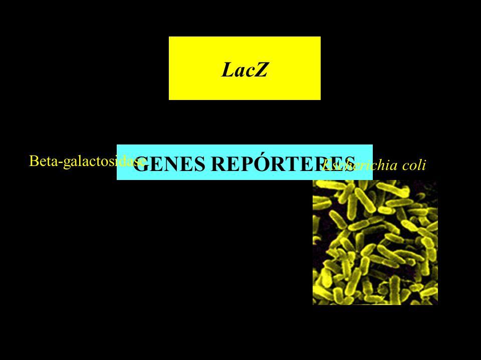 LacZ GENES REPÓRTERES Beta-galactosidase Escherichia coli