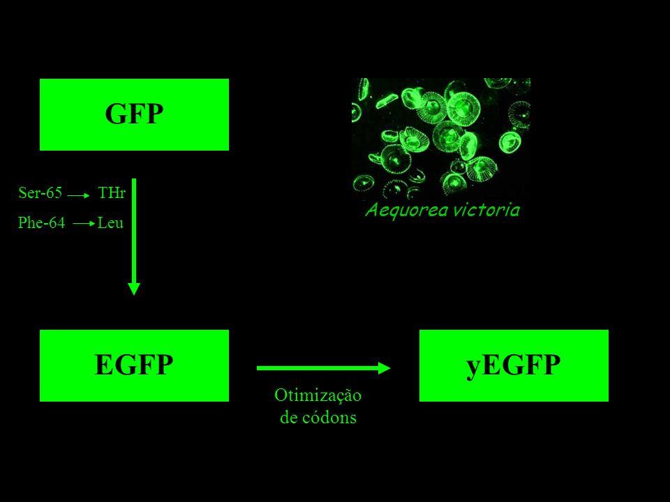 GFP EGFP yEGFP Aequorea victoria Otimização de códons Ser-65 THr