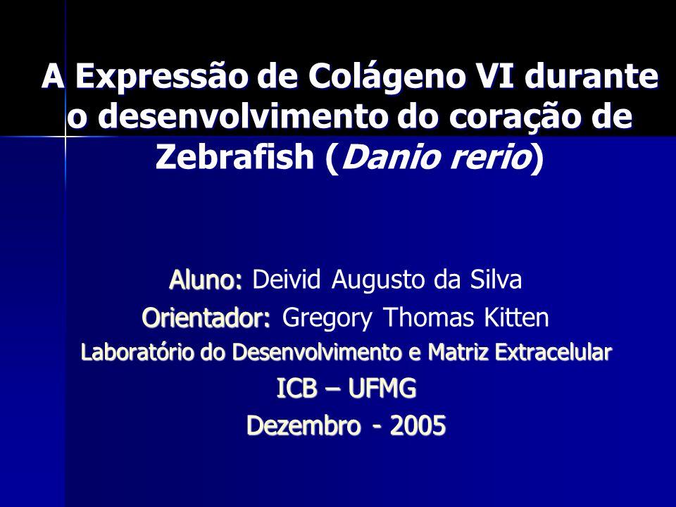 A Expressão de Colágeno VI durante o desenvolvimento do coração de Zebrafish (Danio rerio)