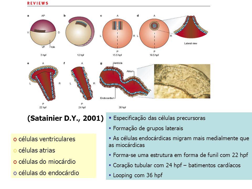 (Satainier D.Y., 2001) Especificação das células precursoras