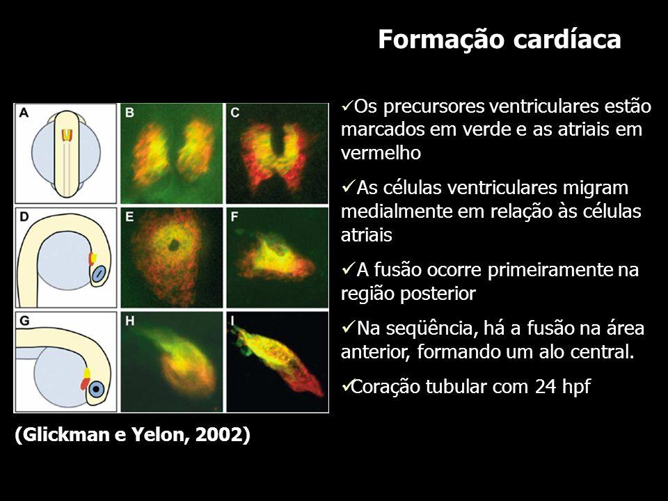 Formação cardíaca Os precursores ventriculares estão marcados em verde e as atriais em vermelho.
