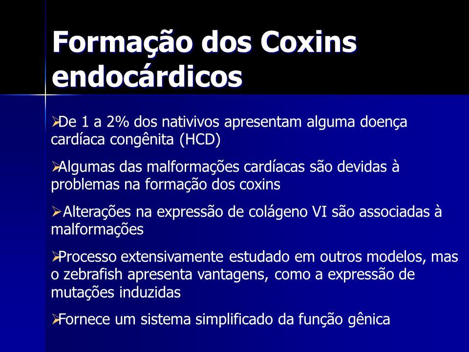 Formação dos Coxins endocárdicos